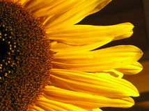 połowa słonecznik obraz royalty free