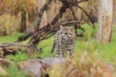 Połowu kot Fotografia Royalty Free