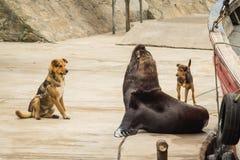 Połowu port, denni lwy i psy, miasto Mar Del Plata, Arge zdjęcie stock