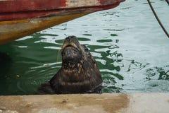 Połowu port i denni lwy, miasto Mar Del Plata, Argentyna fotografia stock