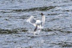 Połowu seagull Zdjęcie Stock