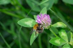 Połowy dekady bumblebee robi codziennym obowiązek domowy Obraz Stock