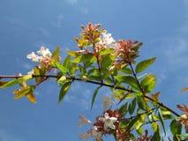 Południe - afrykańscy drzewa Kambas Zdjęcie Royalty Free