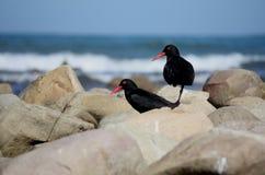 Południe - afrykańscy Ostrygowi łapacze na skałach Obraz Stock