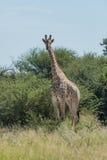 Południe - afrykańska żyrafa w krzakach stawia czoło kamerę Fotografia Royalty Free