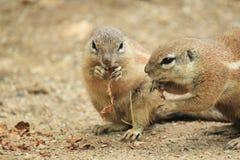 południe afrykańska zmielona wiewiórka Obraz Stock