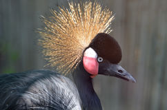 Południe - afrykański Koronowany żuraw z piórkami na Jego głowa zdjęcie stock
