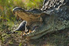 Południe - afrykański krokodyl zdjęcie stock