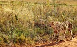 Południe - afrykański lampart Fotografia Royalty Free