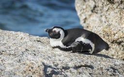 Południe - afrykański pingwin przy głaz plażą, Południowa Afryka Obraz Stock