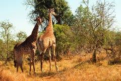 Południe - afrykańskie żyrafy, Mkhaya gry rezerwa, Swaziland obraz royalty free