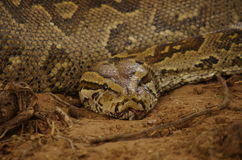 Południe - afrykanów węże Zdjęcie Royalty Free