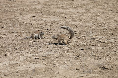 Południe - afrykanin ziemia, Xerus inauris, wiewiórka, Gemsbok park narodowy, Południowa Afryka Zdjęcie Royalty Free