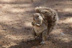 Południe - afrykanin ziemia, Xerus inauris, wiewiórka, Gemsbok park narodowy, Południowa Afryka Zdjęcia Stock