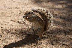 Południe - afrykanin ziemia, Xerus inauris, wiewiórka, Gemsbok park narodowy, Południowa Afryka Fotografia Stock