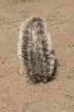Południe - afrykanin ziemia, Xerus inauris, wiewiórka, Gemsbok park narodowy, Południowa Afryka Zdjęcie Stock