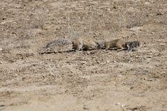 Południe - afrykanin ziemia, Xerus inauris, wiewiórka, Gemsbok park narodowy, Południowa Afryka Obraz Stock