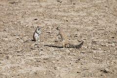 Południe - afrykanin ziemia, Xerus inauris, wiewiórka, Gemsbok park narodowy, Południowa Afryka Zdjęcia Royalty Free