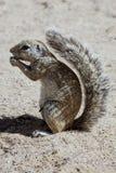 Południe - afrykanin zmielona wiewiórka, Kalahari, Południowa Afryka Fotografia Royalty Free