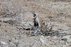 Południe - afrykanin zmielona wiewiórka na strażniku, Kalahari Zdjęcie Stock