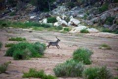 Południe - afrykanina Waterbuck pierścionku bieg wzdłuż suchego riverbed Zdjęcia Royalty Free