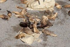 Południe - amerykańscy Denni lwy Gnuśni W The Sun obraz stock