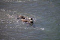 Południe - amerykańscy dennych lwów Otaria flavescens na plaży przy Punta Loma, Argentyna Fotografia Stock
