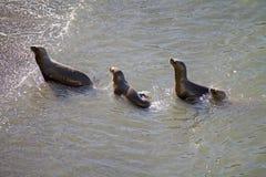 Południe - amerykańscy dennych lwów Otaria flavescens na plaży przy Punta Loma, Argentyna Obraz Stock