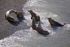 Południe - amerykańscy dennych lwów Otaria flavescens na plaży przy Punta Loma, Argentyna Zdjęcia Stock