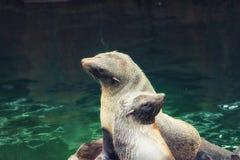Południe - amerykańska futerkowa foka Obrazy Stock