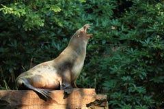 Południe - amerykańska futerkowa foka Obraz Royalty Free