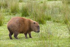 Południe - amerykańska kapibara fotografia stock