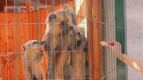 Południe - amerykański coati je od ręki, Klatkowy coati, coati karmienie, rozochocony coati zdjęcie wideo