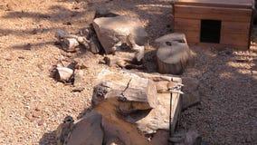 Południe - amerykański coati je od ręki, Klatkowy coati, coati karmienie, rozochocony coati zbiory wideo
