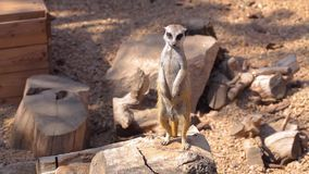 Południe - amerykański coati je od ręki, Klatkowy coati, coati karmienie, rozochocony coati zbiory