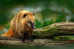 Południe - amerykański coati, Nasua nasua w natury siedlisku, Zwierzę od zwrotnik przyrody lasowej sceny od natury Zdjęcia Royalty Free