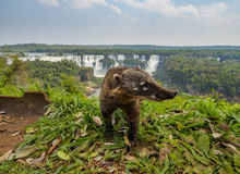Południe - amerykański Coati th Iguacu Spada w Brazylia obraz stock