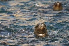 Południe - amerykański denny lew pływa z Peruwiańskiego wybrzeża zdjęcia royalty free