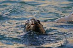 Południe - amerykański denny lew pływa z Peruwiańskiego wybrzeża fotografia royalty free