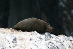 Południe - amerykański futerkowej foki dosypianie na skale fotografia royalty free