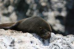 Południe - amerykański futerkowej foki dosypianie na skale zdjęcia royalty free