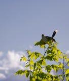 Południe - amerykański ptak nazwany Calandria Z światłem słonecznym Fotografia Royalty Free