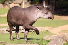 Południe - amerykański tapir Zdjęcie Royalty Free