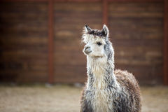 Południe - amerykański zwierzę rodzina Wielbłądy z wartościową wełną fotografia royalty free