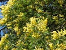 POŁUDNIE ROSJA wiosny mimoza obraz royalty free