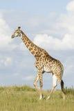 Południowa żyrafy samiec Południowa Afryka (Giraffa camelopardalis) Obrazy Stock