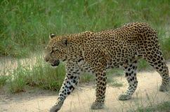 Południowa Afryka: Lepard odprowadzenie na żwir drodze zdjęcia royalty free