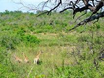 Południowa Afryka, Listopad - 7, 2011: Żyrafa na ranek gry przejażdżki safari przy Kruger parkiem narodowym Zdjęcia Stock