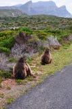 Południowa Afryka, Zachodni przylądek, przylądka półwysep Obraz Royalty Free