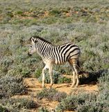 Południowa Afryka zebr dziecka łydka Obrazy Royalty Free